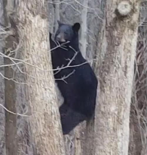 мама-медведица на дереве