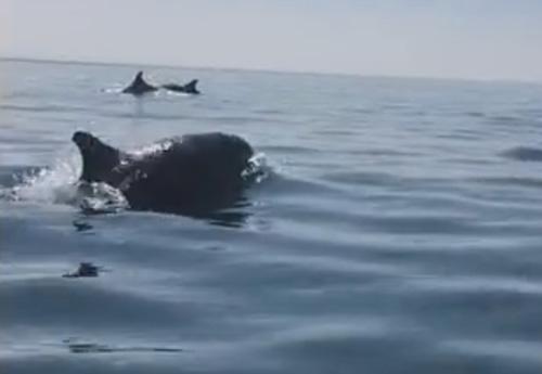 дельфины устроили почётный эскорт