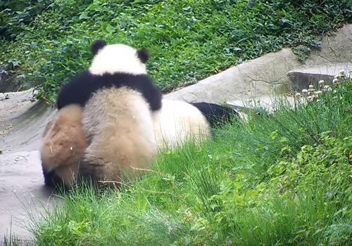 панда катается на маме