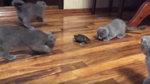 котята познакомились с черепахой
