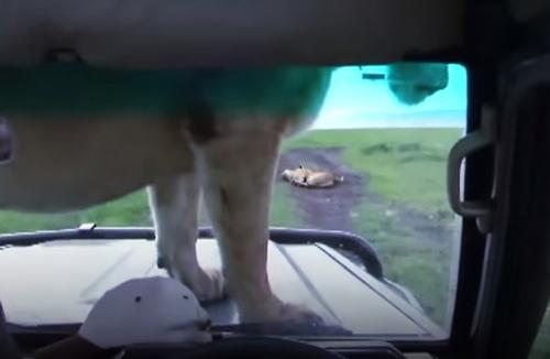 львица улеглась на капот