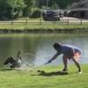 гусь защищал от гольфиста мячик