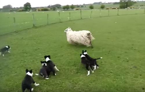 щенки обучаются пастушеской работе