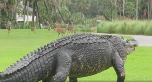 олени испугались аллигатора