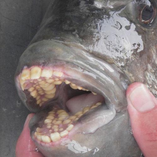 рыба с человеческими зубами