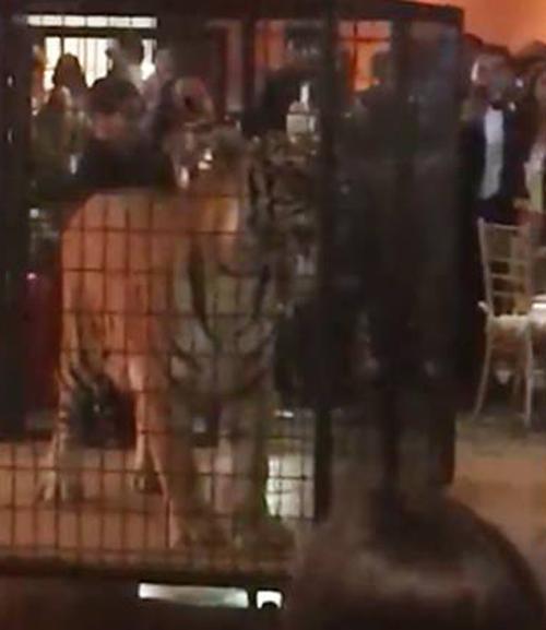 тигра пригласили на выпускной бал