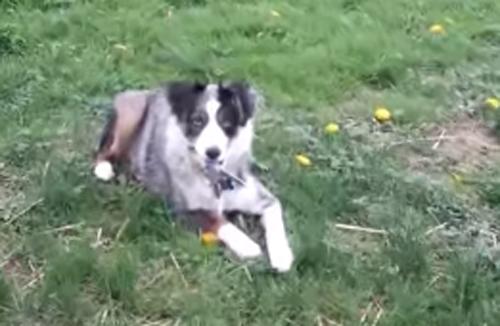 собака играет с ножницами