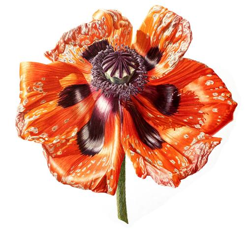жизнь и смерть цветка мака