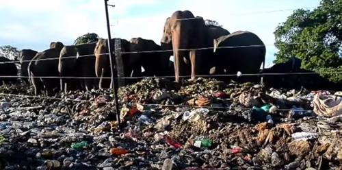 слоны питаются мусором