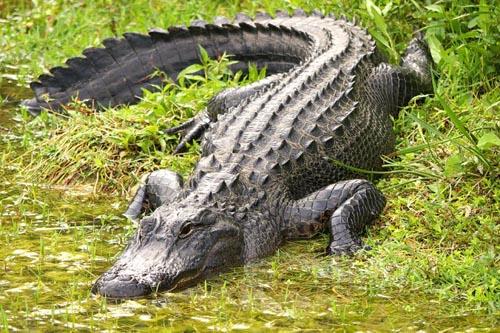 аллигатор для охраны жертвы