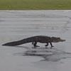 аллигатор испугался журавлей