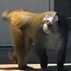 обезьяна сбежала в аэропорту
