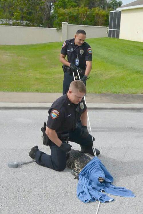 полицейский заарканил аллигатора