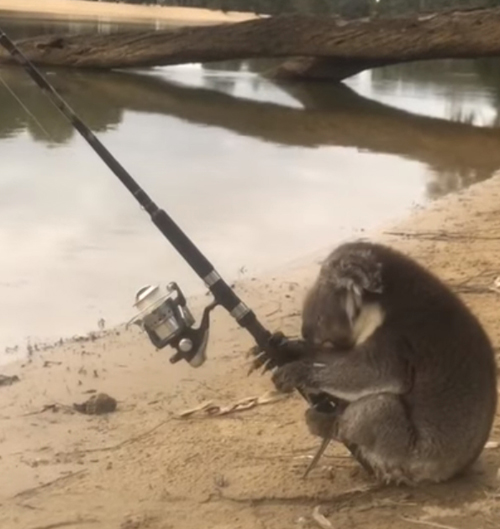 коала ловит рыбу