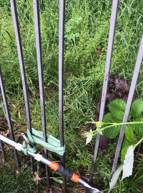 бобр застрял в заборе