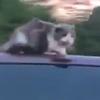 кошка прокатилась на крыше машины