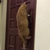 кошка научилась открывать дверь