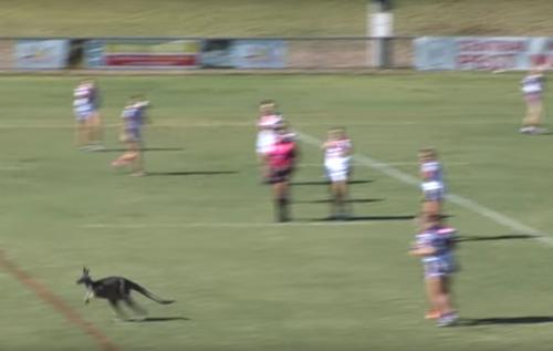 кенгуру на спортивном поле
