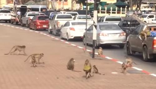 обезьяны обокрали пикап с фруктами