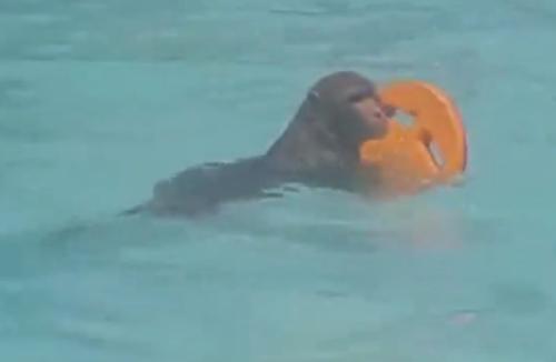 обезьяна ходит в бассейн