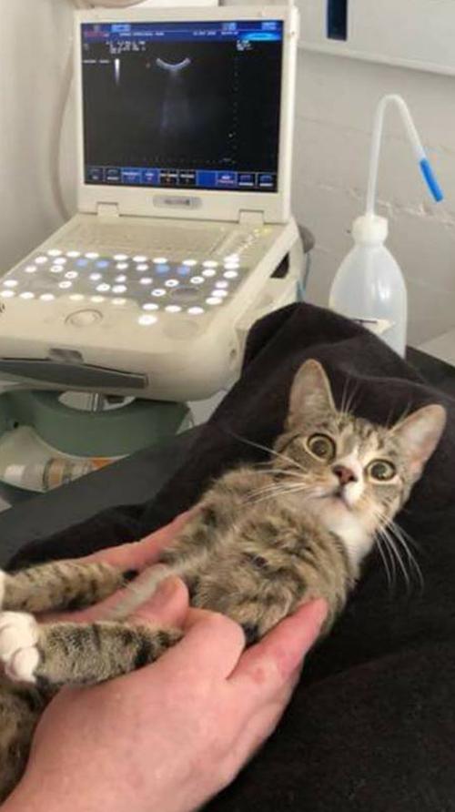 беременная кошка изумилась