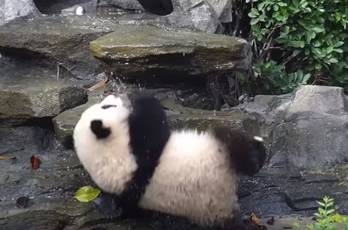 панда занялась альпинизмом