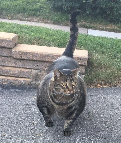чрезмерно мускулистый кот