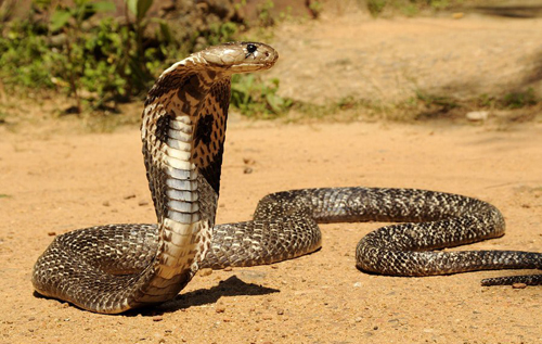 студенты не интересуются кобрами