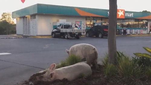 сбежавшие свиньи на автозаправке