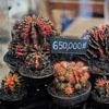 большая ярмарка кактусов
