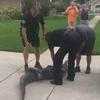 аллигатор избил людей