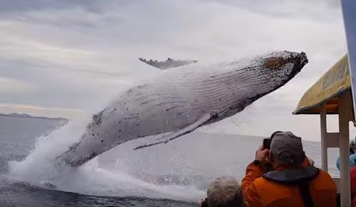 выпрыгнувший из воды кит