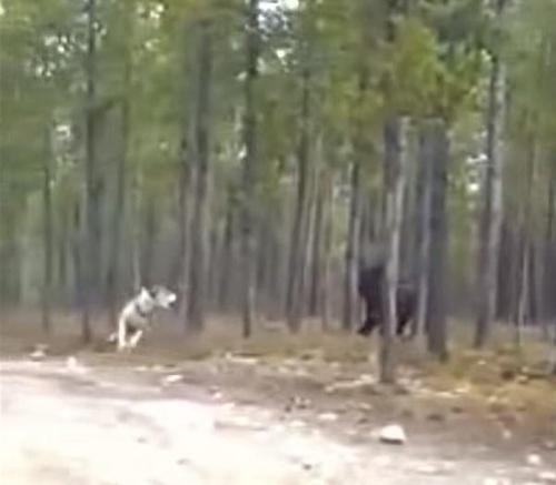 жуткий зверь напал на собаку