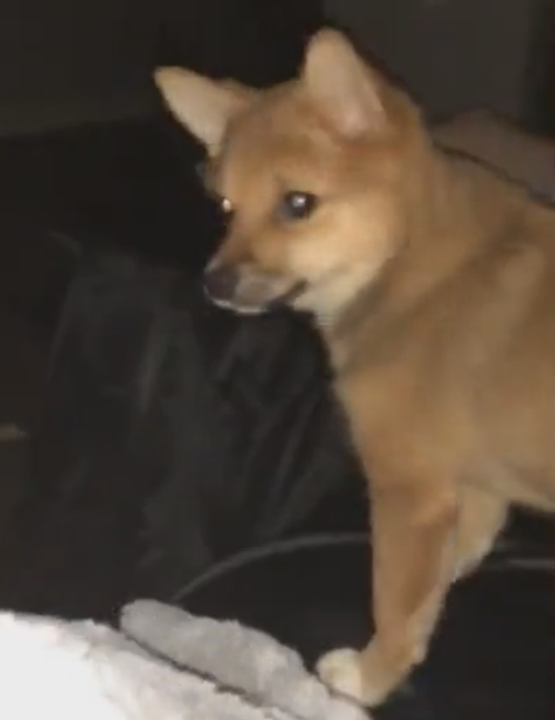 собака увидела на экране собрата