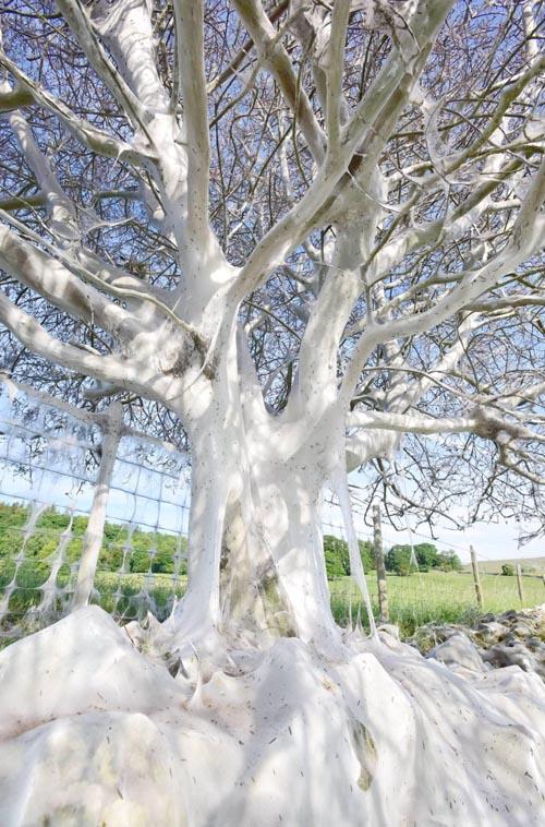 дерево под шёлковым одеялом
