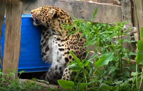 раненый леопард в деревне