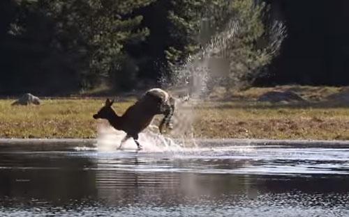самка оленя в воде