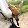оленёнка вытащили из грязи
