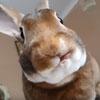 милый облизывающийся кролик