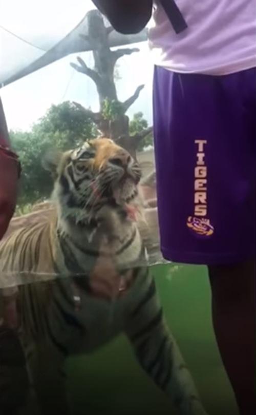 тигр и его охотничьи инстинкты
