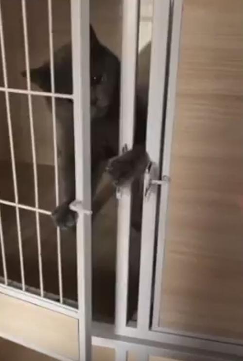 кошка умеет открывать дверь
