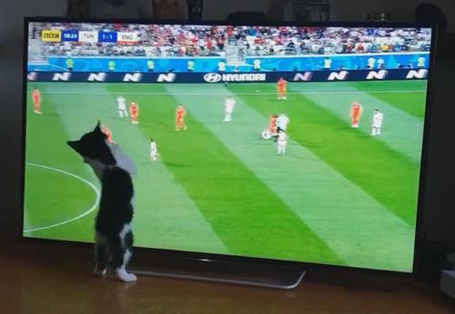 котёнок смотрит футбол