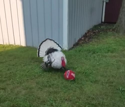 индейка играет с мячом