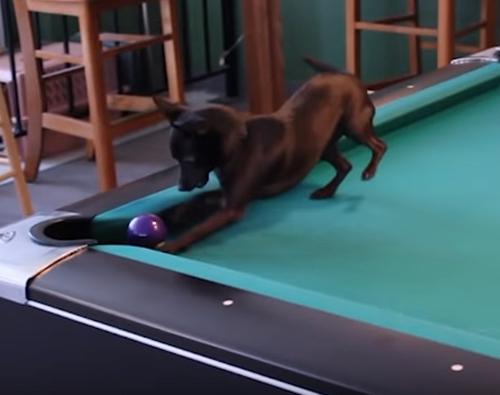 пёс пристрастился к бильярду