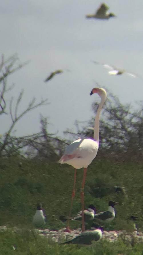 фламинго сбежал из зоопарка