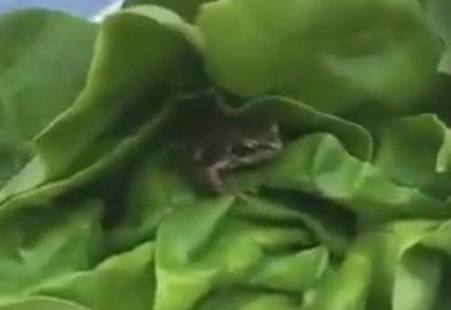 лягушку нашли в салате