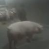 штраф за выпрыгнувшую свинью