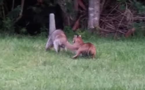 воинственный енот против рыси