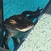 аллигатор явился в бассейн