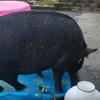 купание нетерпеливой свиньи